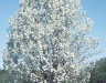 Aristocrat Bradford Pear Bloom