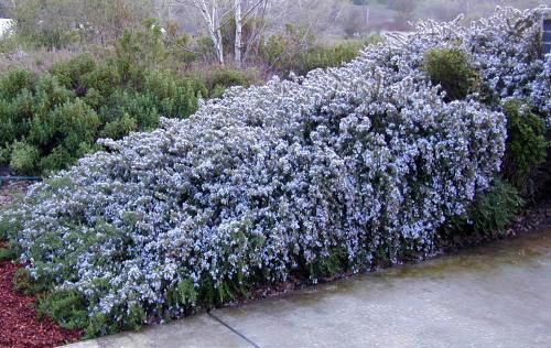 Creeping Rosemary