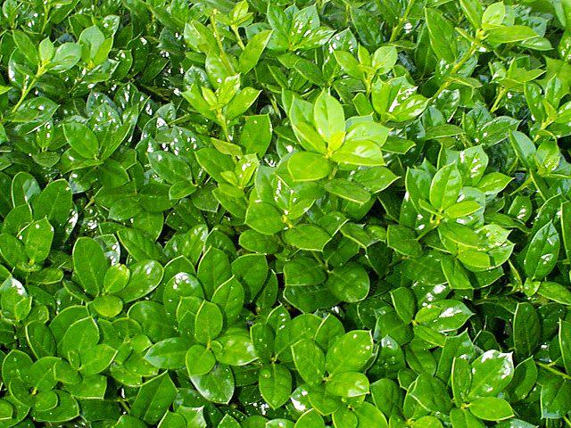 Dwarf Burford Holly Leaf