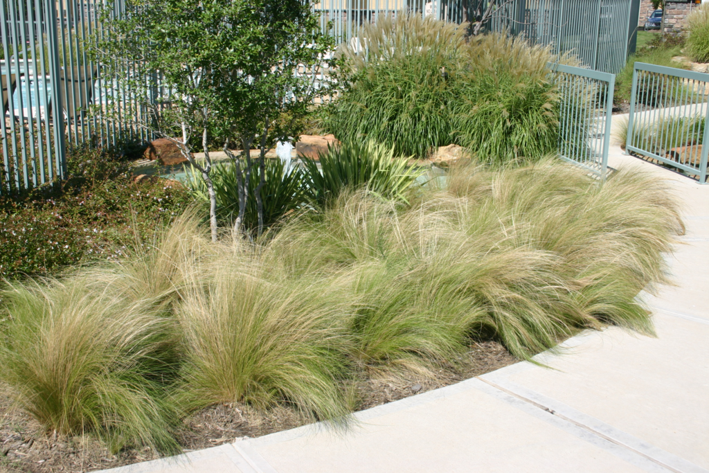 Plant gallery ornamental grasses haslet tx landscaping for Short landscape grasses