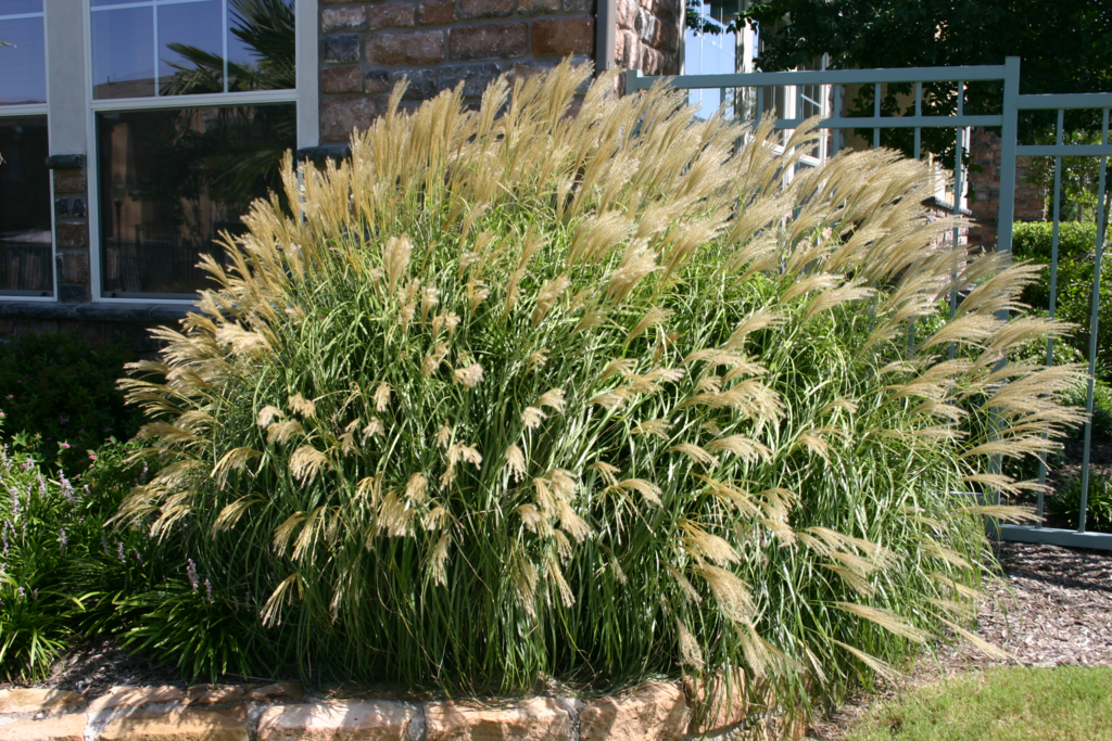 Plant gallery ornamental grasses haslet tx landscaping for Grassy plants for landscaping