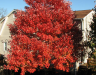 October Glory Red Maple Fall