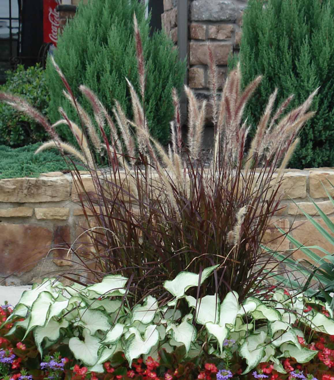 Plant gallery ornamental grasses haslet tx landscaping for Purple grasses for landscaping