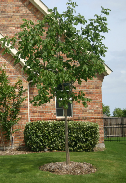 Gallery Shade Tolerant Trees Lawn Connections