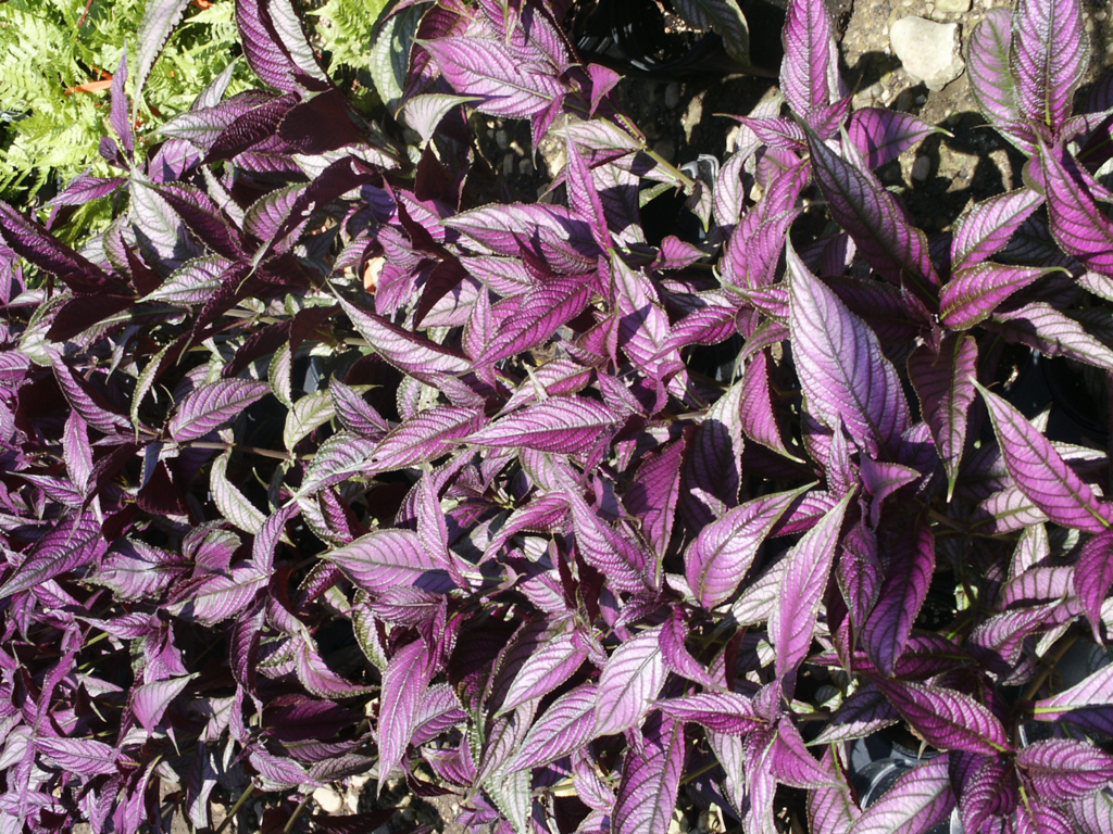 Spring and summer seasonal color landscape gallery lawn connections - Wandering jew care ...