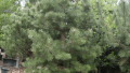 austrian-pine-copy