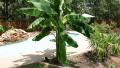 banana-plant