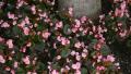 begonia-pink
