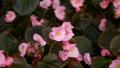 begonia-pink-close