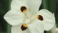 bicolor-iris