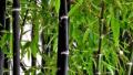 black-bamboo