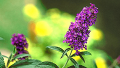 black-knight-butterfly-bush