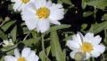 blackfoot-daisy