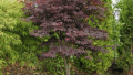 bloodgood-japanese-maple
