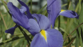 blue-dutch-iris