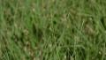 buffalo-grass