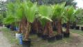 california-fan-palm