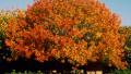 chinese-pistache-autumn
