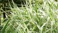 cosmopolitan-grass