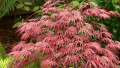crimson-queen-japanese-maple