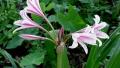 crinum-lily