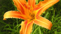daylily-orange