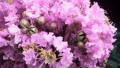 dazzle-me-pink-crape-myrtle