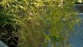 dwarf-fern-leaf-bamboo