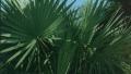 dwarf-palmetto