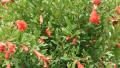 dwarf-pomegranate