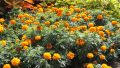 dwarf-yellow-marigold