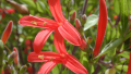 flame-acanthus