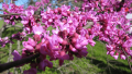 forest-pansy-redbud-blooms