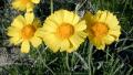 four-nerve-daisy