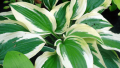 fragrant-bouquet-hosta