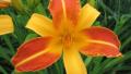 frans-hals-daylily
