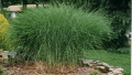 gracillimus-grass