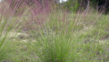 hairy-awn-muhly-grass