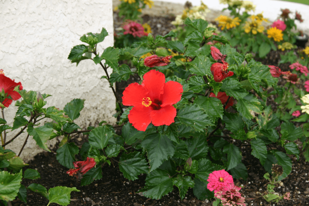 Hibiscus Red Lawn Connections Llc