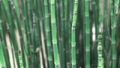 horsetail-reed