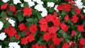 impatiens-red-white-close