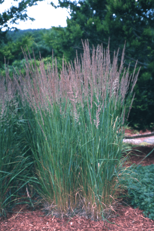 Ornamental grasses lawn connections llc for Tall border grass