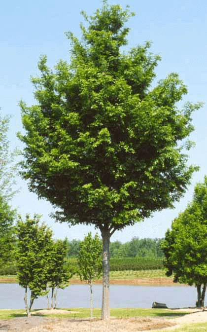 Shade Trees Lawn Connections Llc