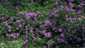 lavender-swirl-lantana