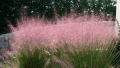 lindheimer-muhly-grass