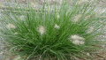 little-bunny-grass