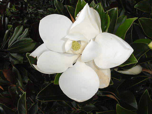 Little Gem Magnolia Bloom Lawn Connections Llc