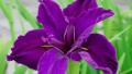 louisiana-iris