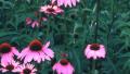 magnus-coneflower