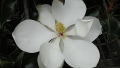 majestic-beauty-magnolia-bloom